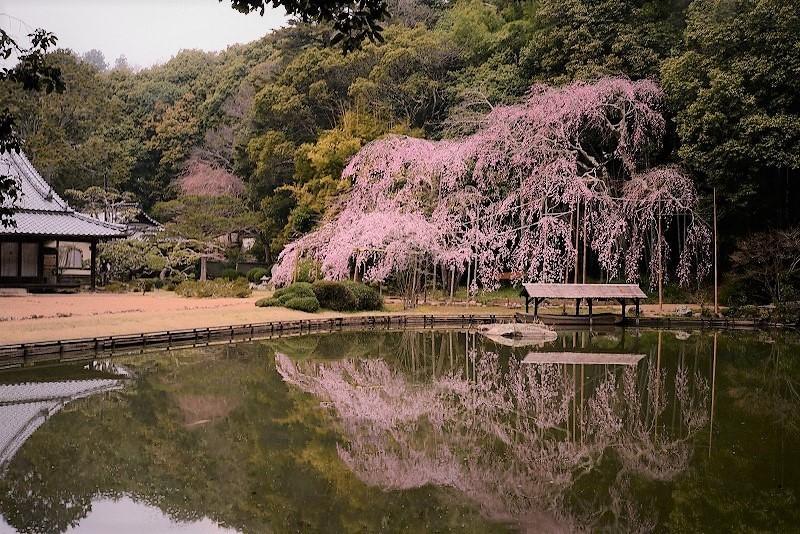 曹源寺の枝垂れ桜1
