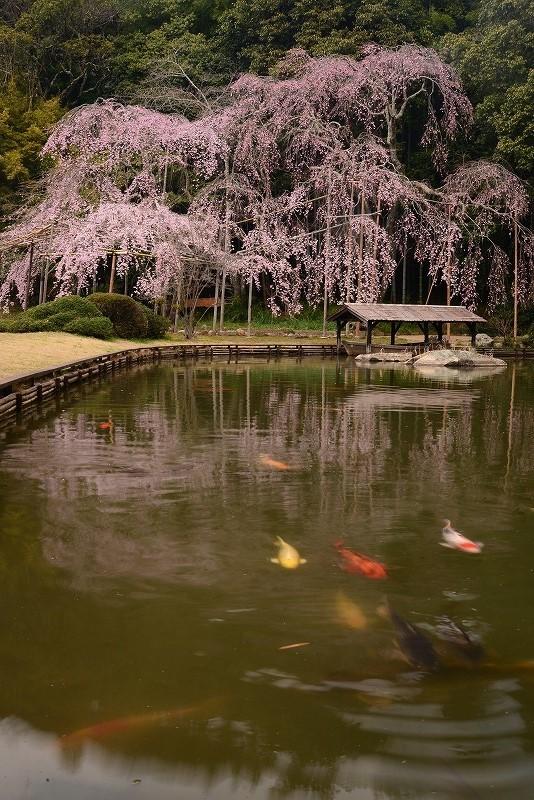 曹源寺の枝垂れ桜14t
