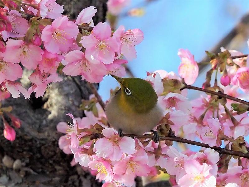 河津桜とメジロ5