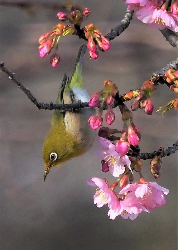 河津桜とメジロ9t