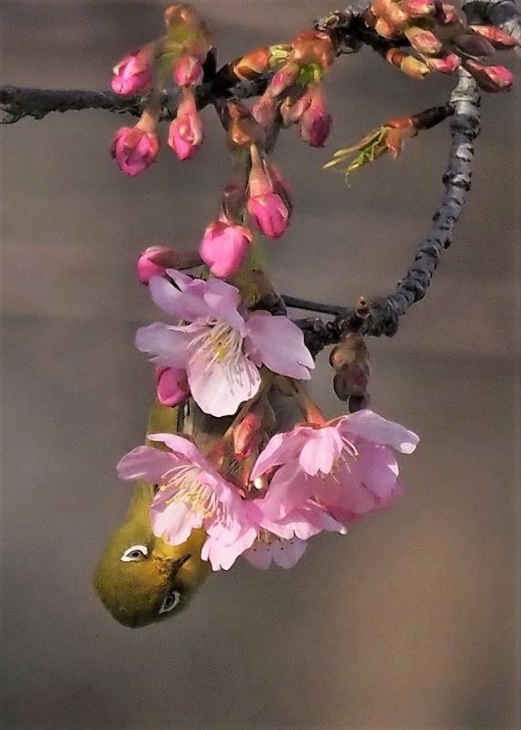 河津桜とメジロ10t