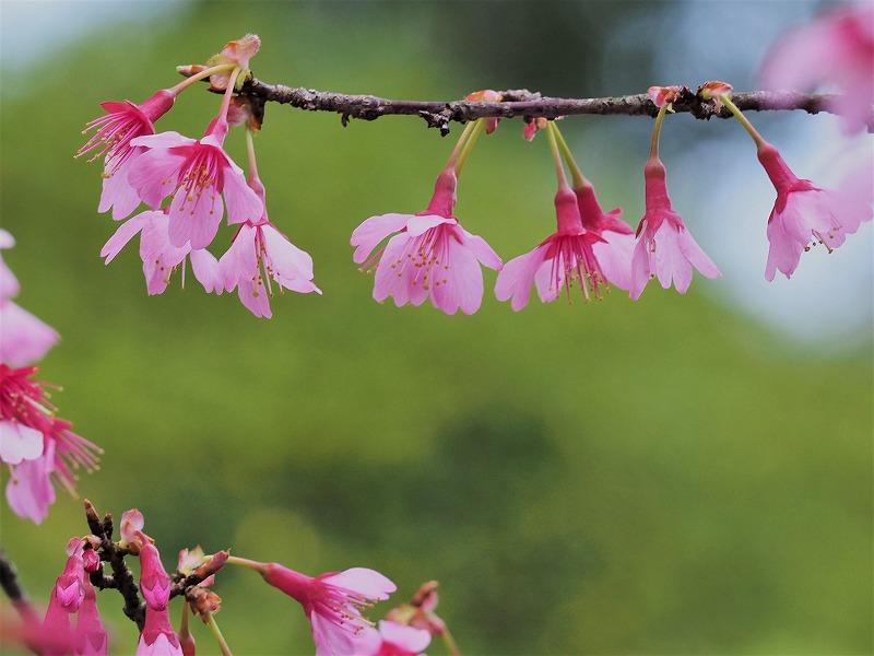 オカメ桜11