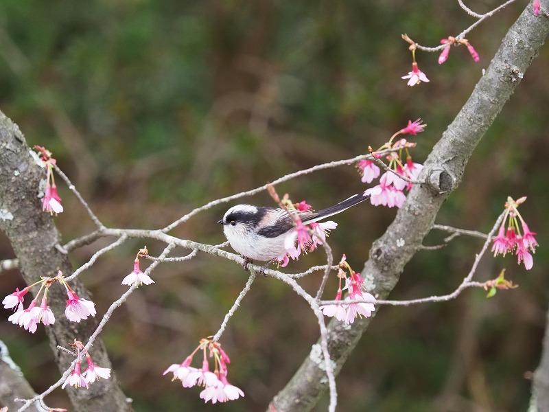 オカメ桜とエナガ1