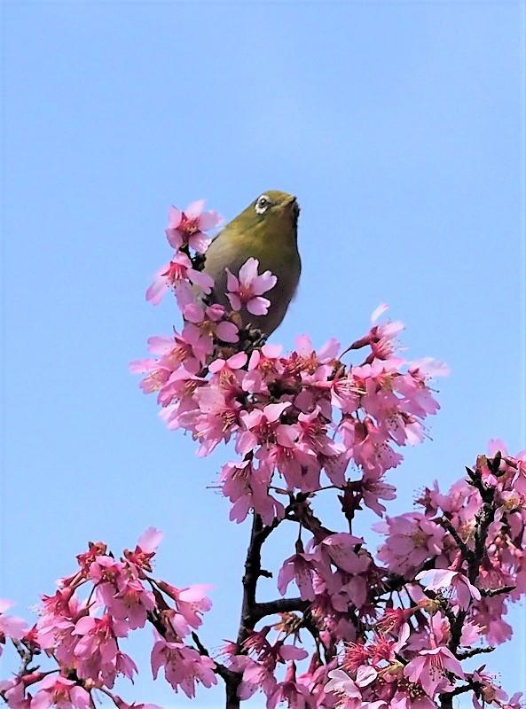オカメ桜とメジロ5t