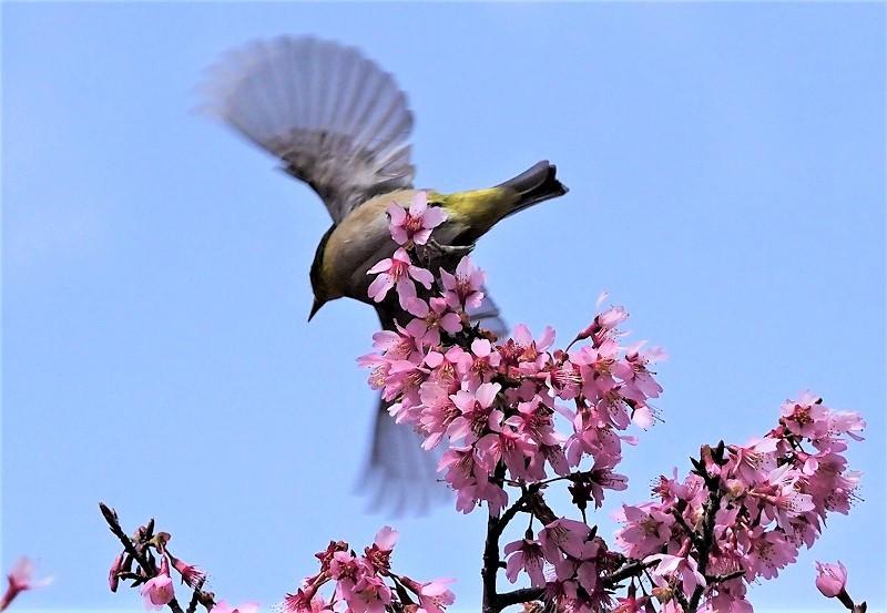オカメ桜とメジロ6