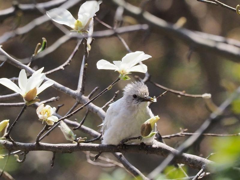 こぶしの花と白ヒヨドリ1