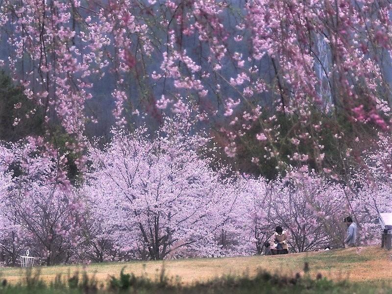 たけべの森の桜1