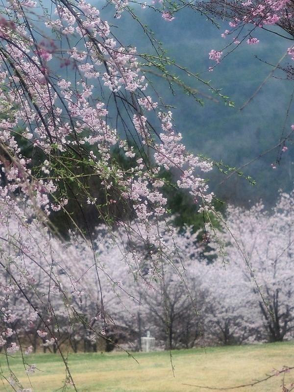 たけべの森の桜2