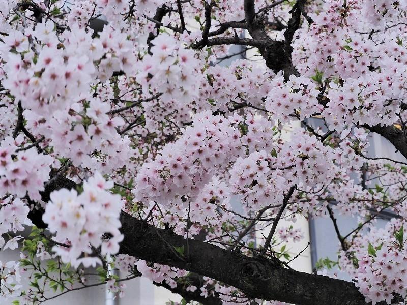 枝川緑道公園の桜3