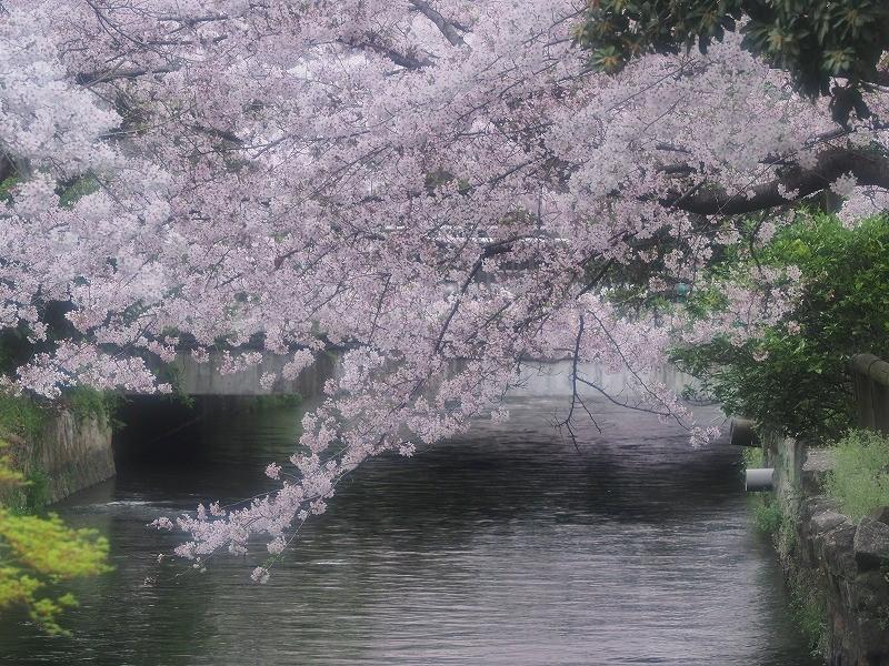 西川緑道公園の桜15
