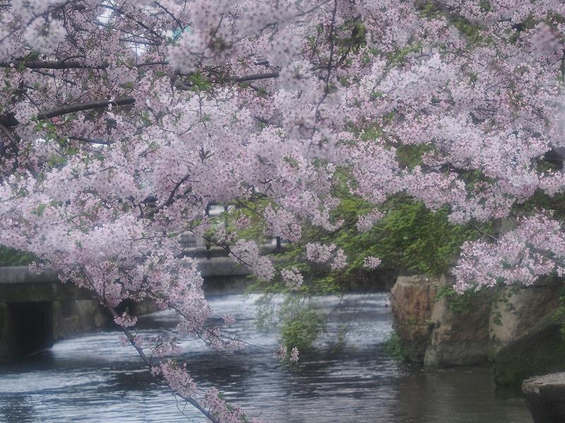 西川緑道公園の桜11