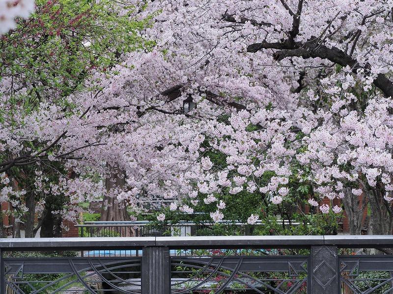 西川緑道公園の桜8