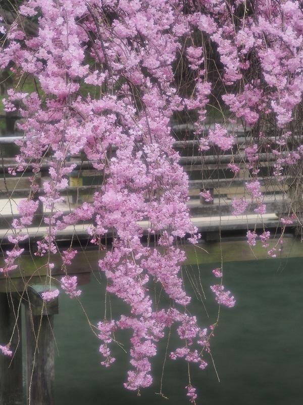 枝垂れ桜5t