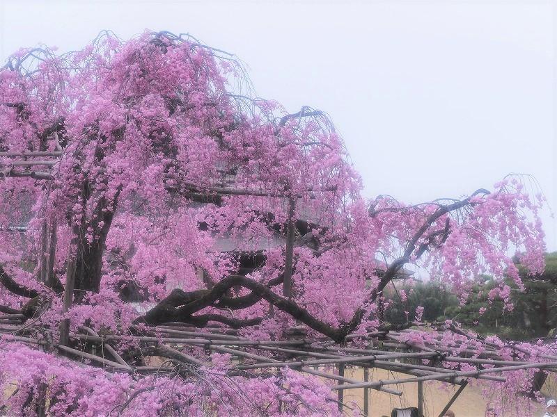 枝垂れ桜3