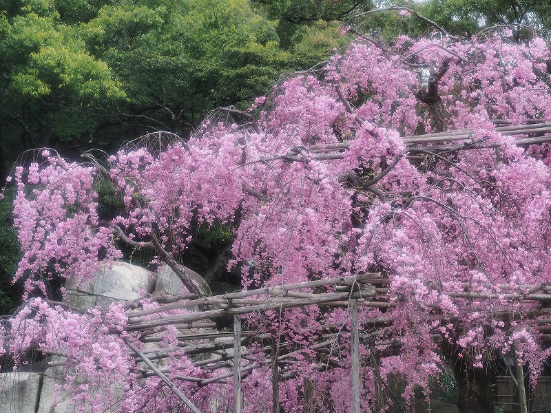 枝垂れ桜6
