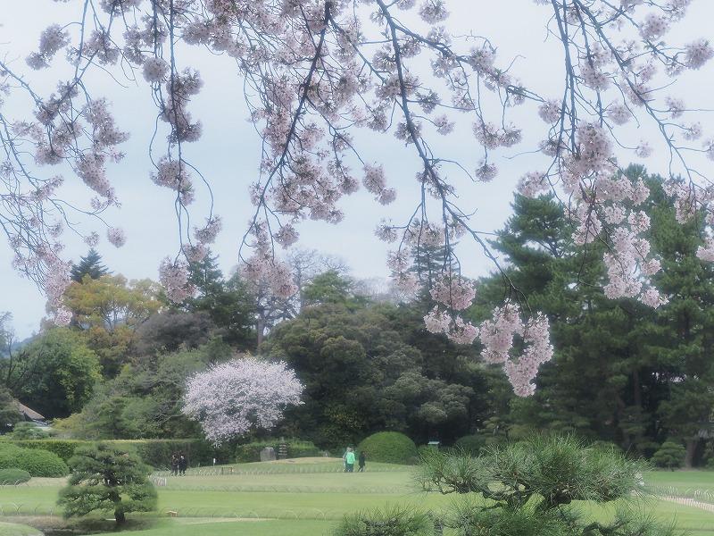 後楽園の桜7