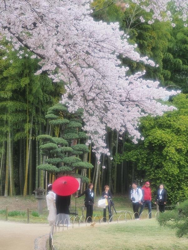 後楽園の桜6