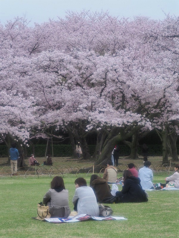 後楽園の桜14t