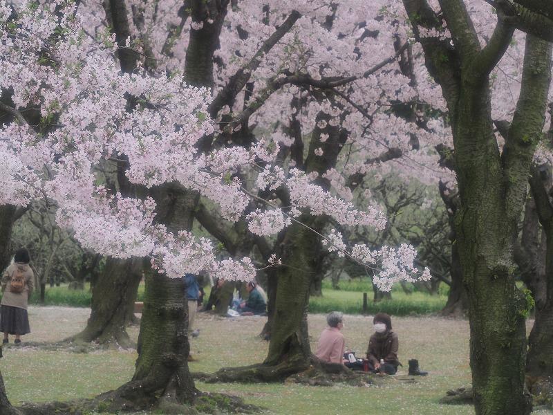 後楽園の桜15