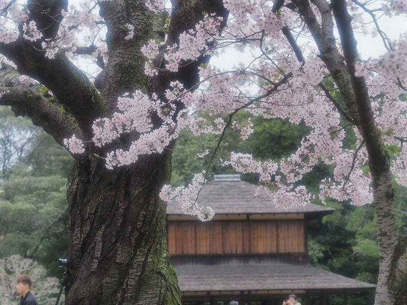 後楽園の桜19