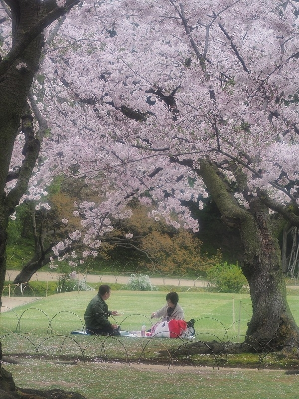 後楽園の桜17t