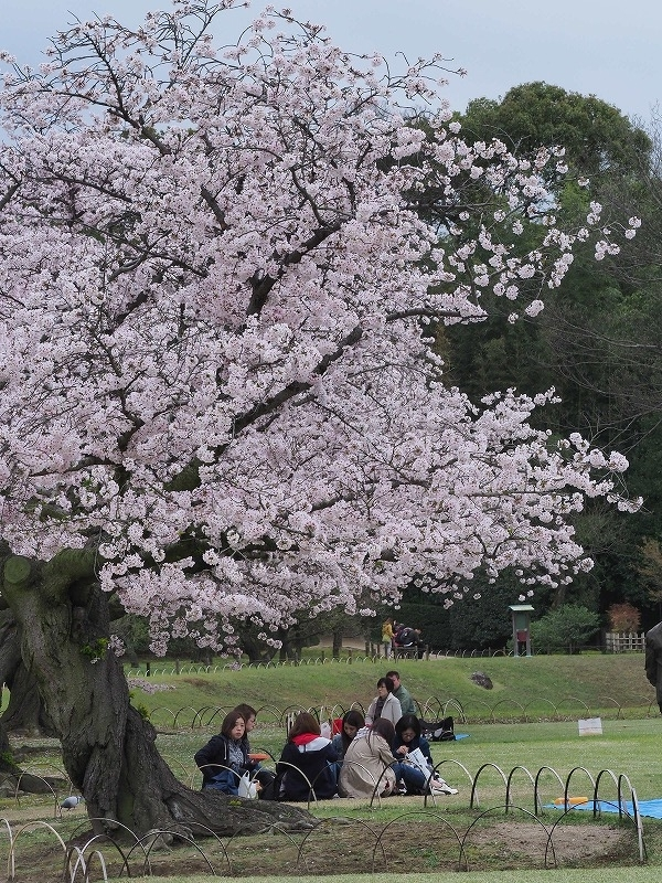 後楽園の桜23t