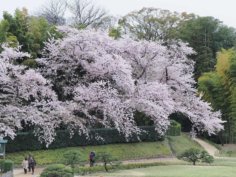 後楽園の桜3