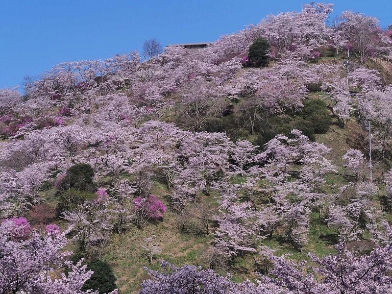 三休公園の桜7