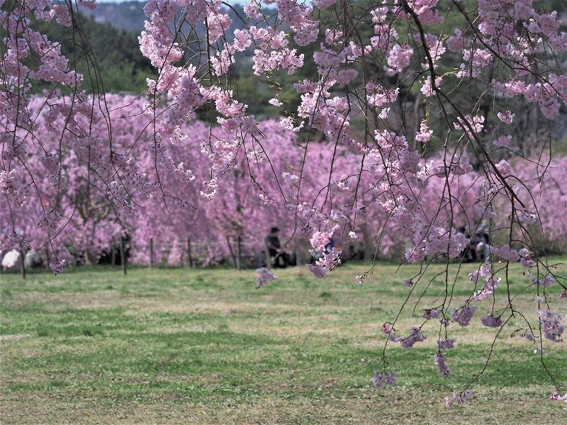 たけべの森の枝垂れ桜8