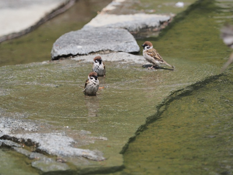 水浴びする雀3