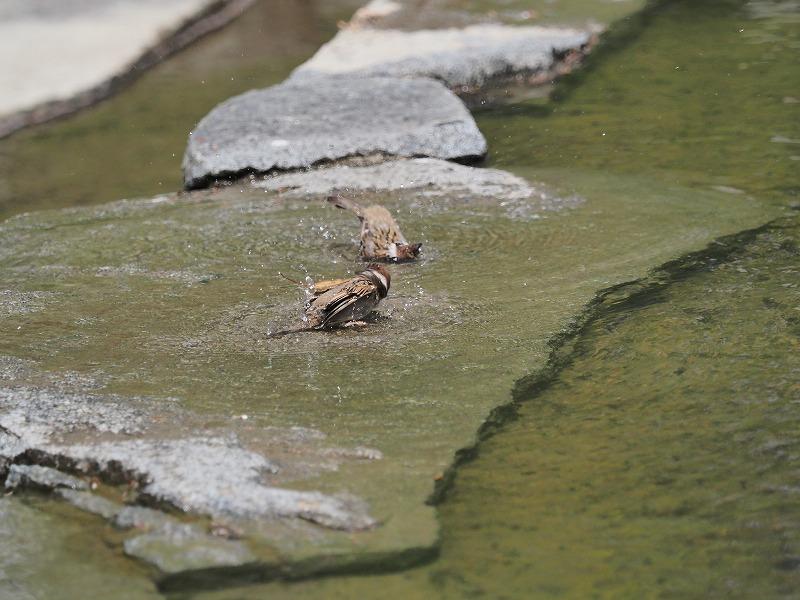 水浴びする雀2