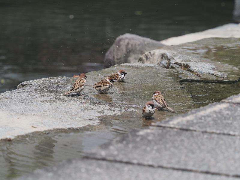 水浴びする雀1