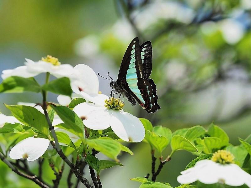 花水木と蝶6