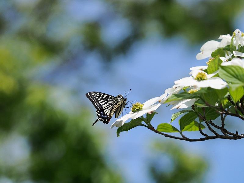 花水木と蝶1