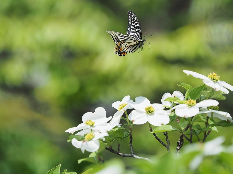 花水木と蝶3