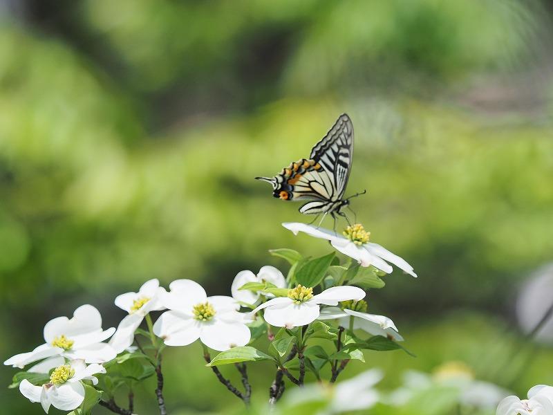 花水木と蝶4