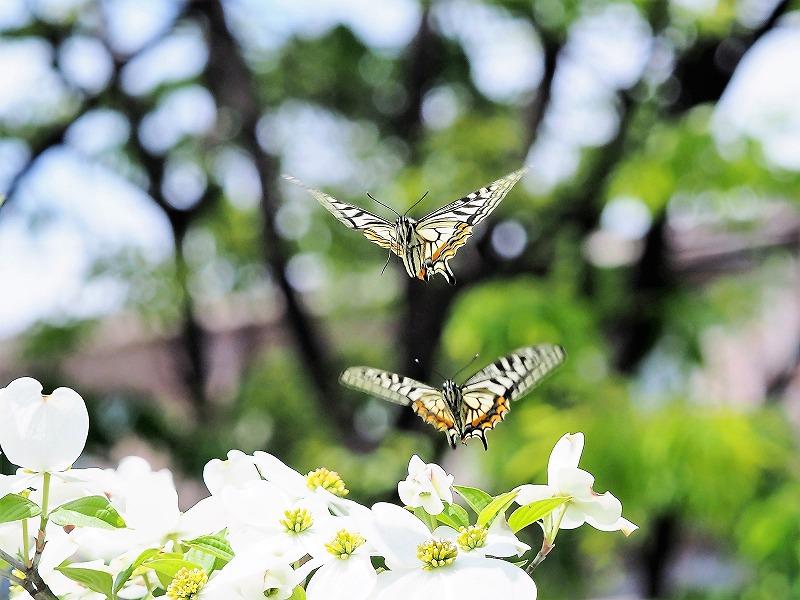 花水木と蝶5