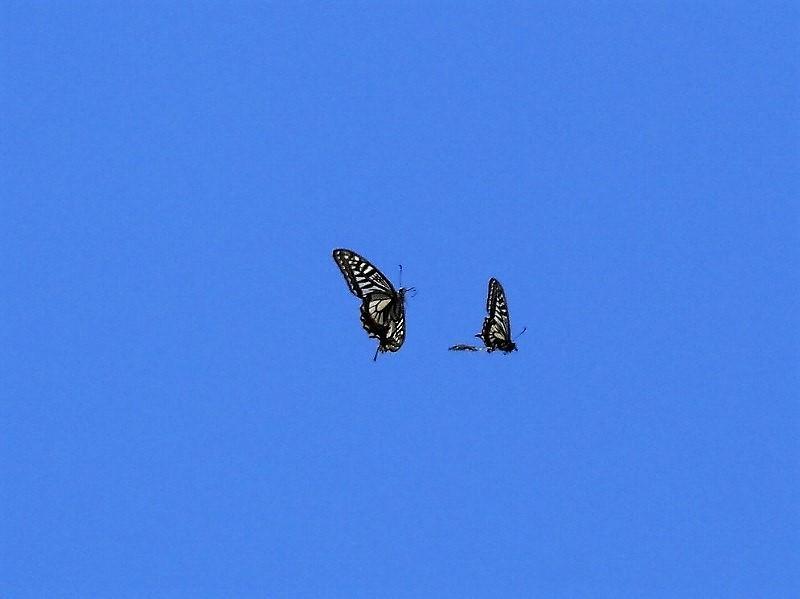 蝶のランデブー