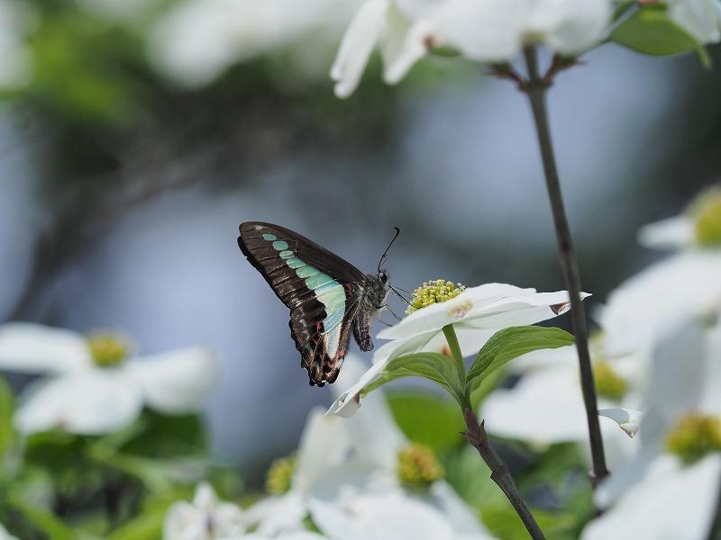 花水木と蝶7