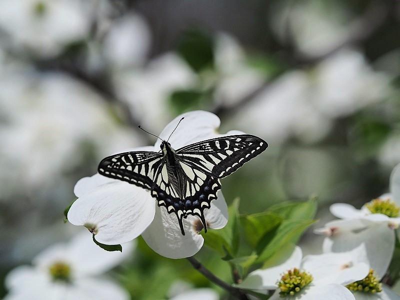 花水木と蝶9