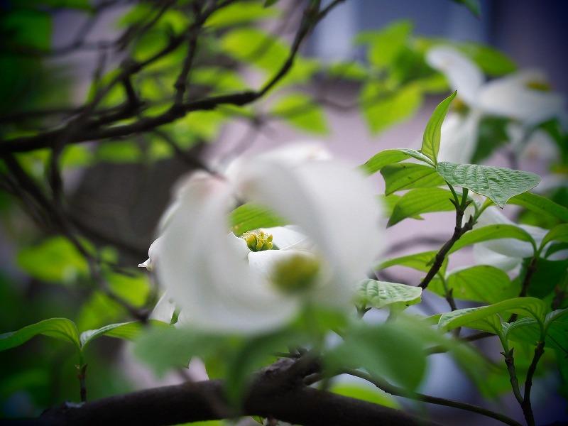 花水木10