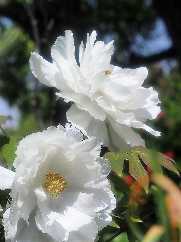 バラ園の牡丹4t
