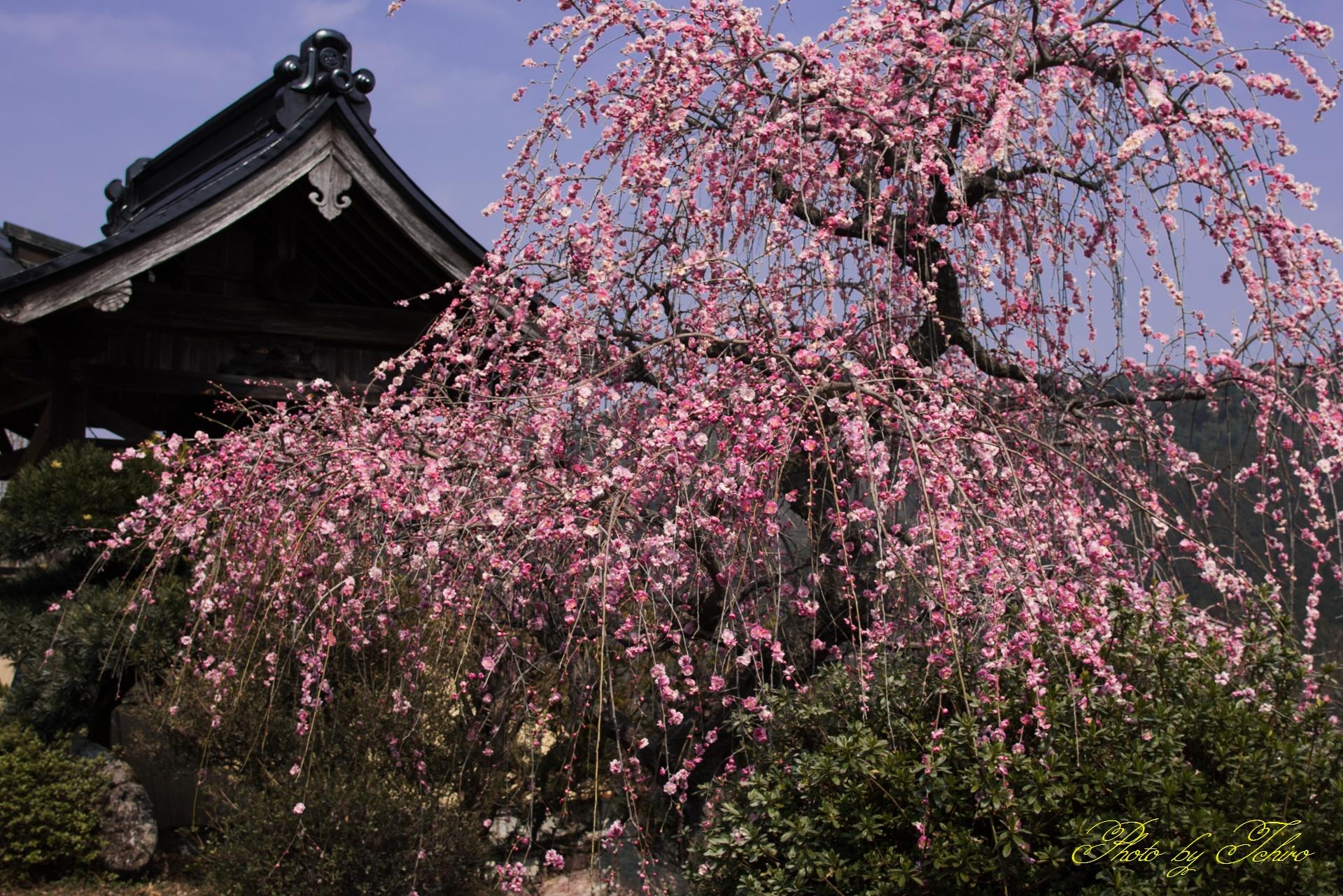 稱名寺の枝垂れ梅
