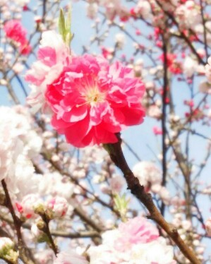 花桃ピンク