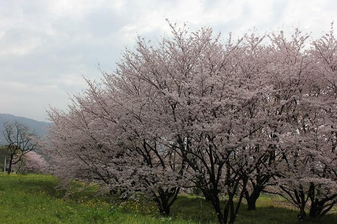 2017.4 桜4