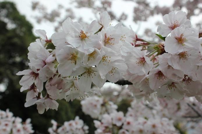 2017.4 桜12