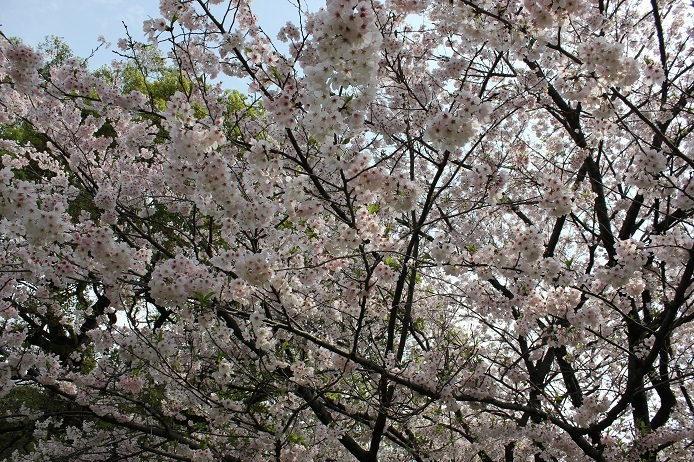 2017.4 桜11