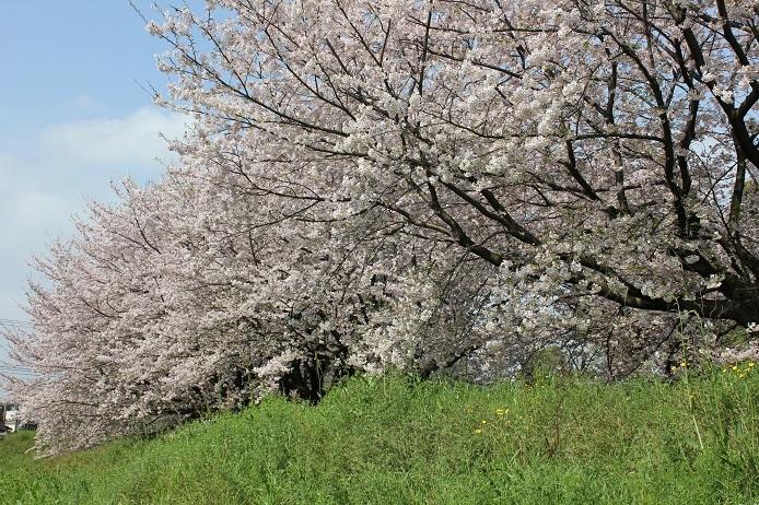 2017.4 桜9