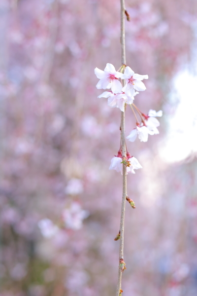 2017 桜んぽ始め