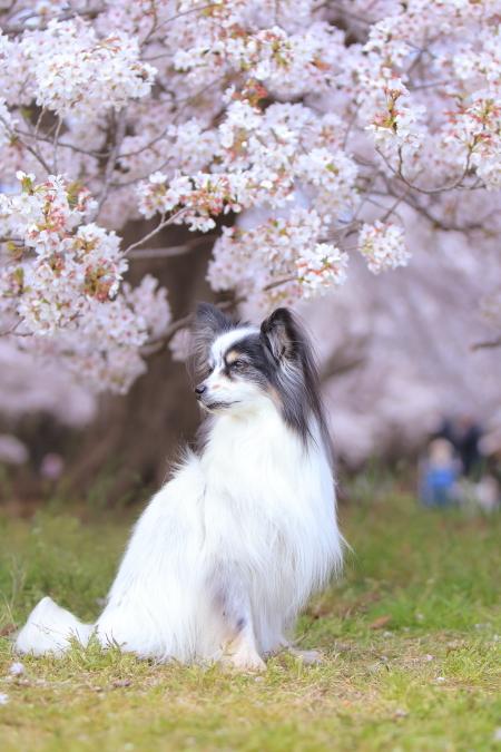 昭和記念公園 04/13/2017